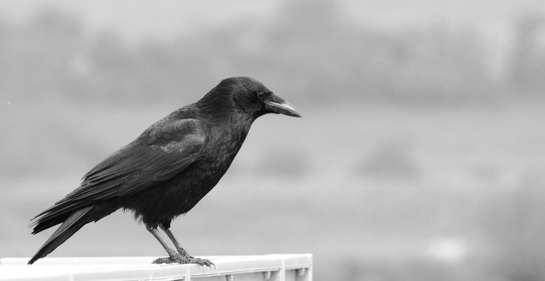 Fondo pajaros cuervo