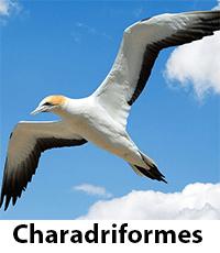 Charadriiformes