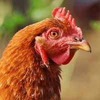 clasificacion-aves-gallinaceas