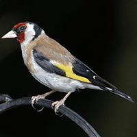 clasificacion-aves-pajaros