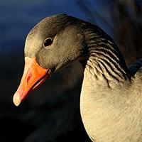 clasificacion-aves-palmipedas