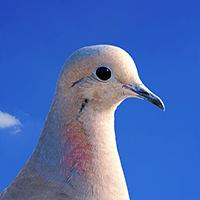 clasificacion-aves-palomas