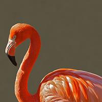 clasificacion-aves-zancudas