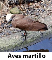 Aves Martillo