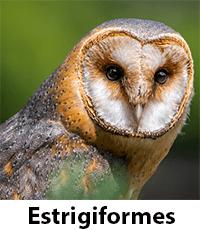 Estrigiformes