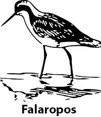 Falaropos