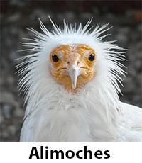 Alimoches